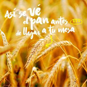 10 cosas que no sabías del trigo
